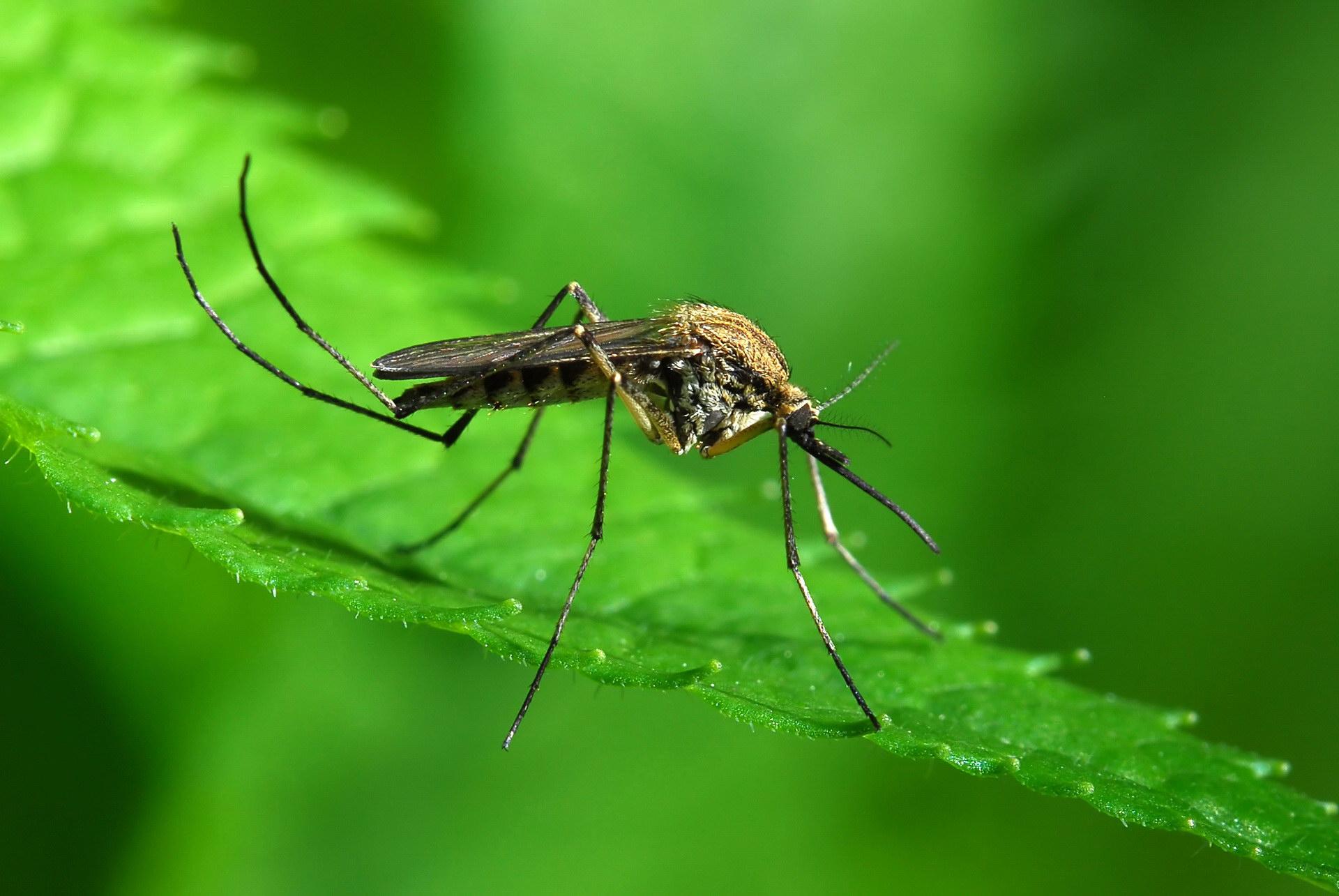 Чем питается комар Обзор предпочтений насекомого в зависимости от пола и стадии развития
