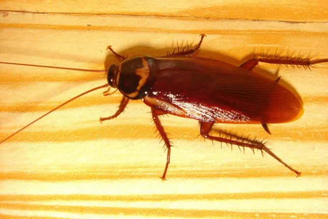 Как живут и размножаются тараканы