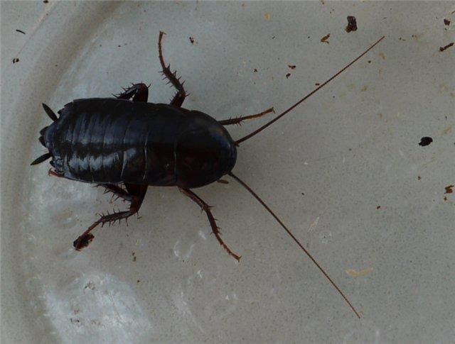 тараканы в раковине каждое утро