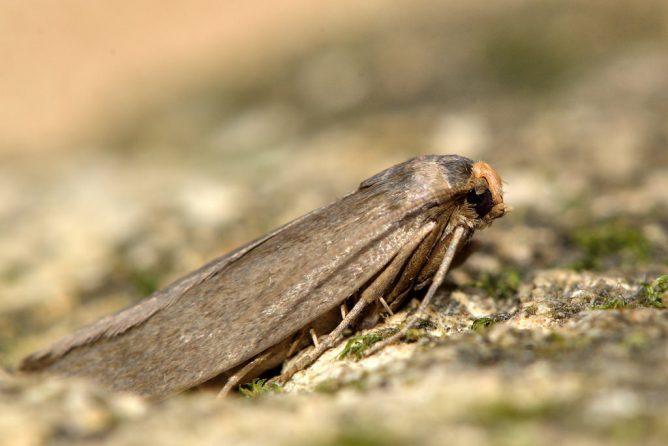 Восковая моль - бабочка