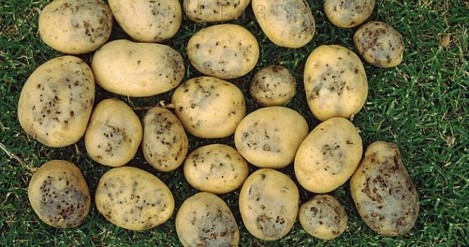 Пораженная картошка