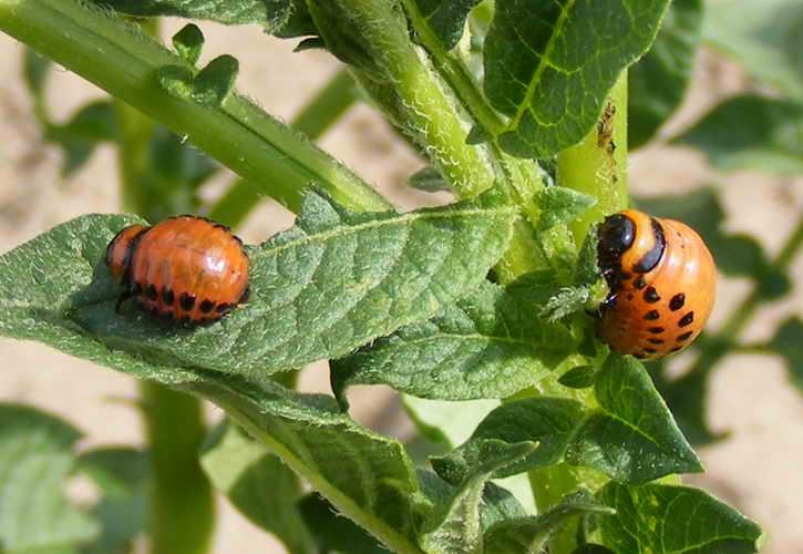 Народные средства от колорадского жука на картошке с горчицей