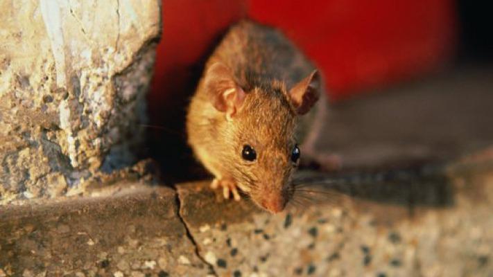 Помогает ли полынь от мышей