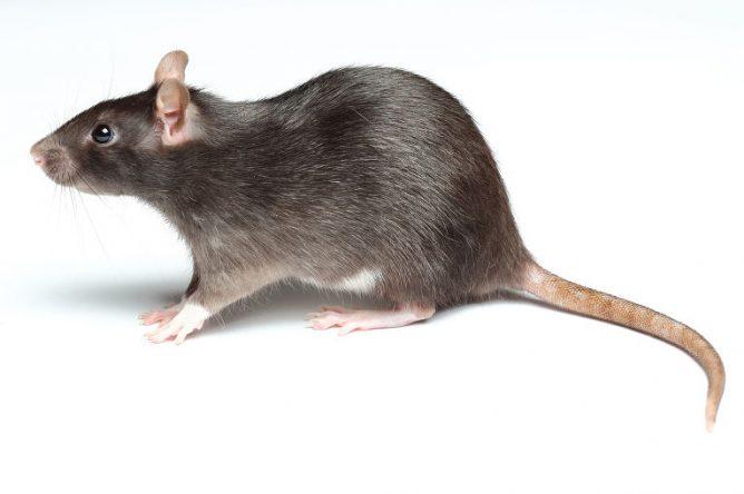 как отличить крыснка от мыши