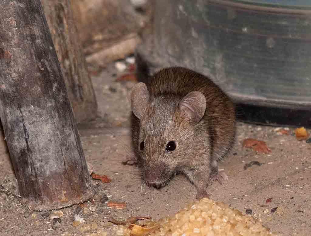 Как сохранить картошку от мышей