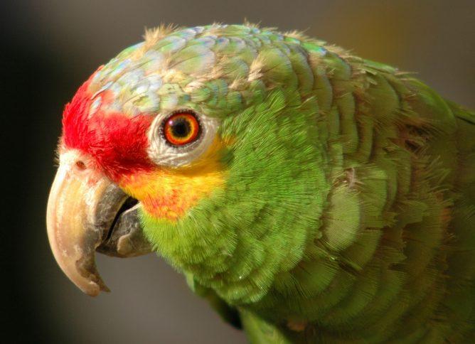 Зараженный попугай