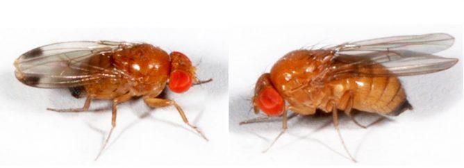 Самец и самка дрозофил