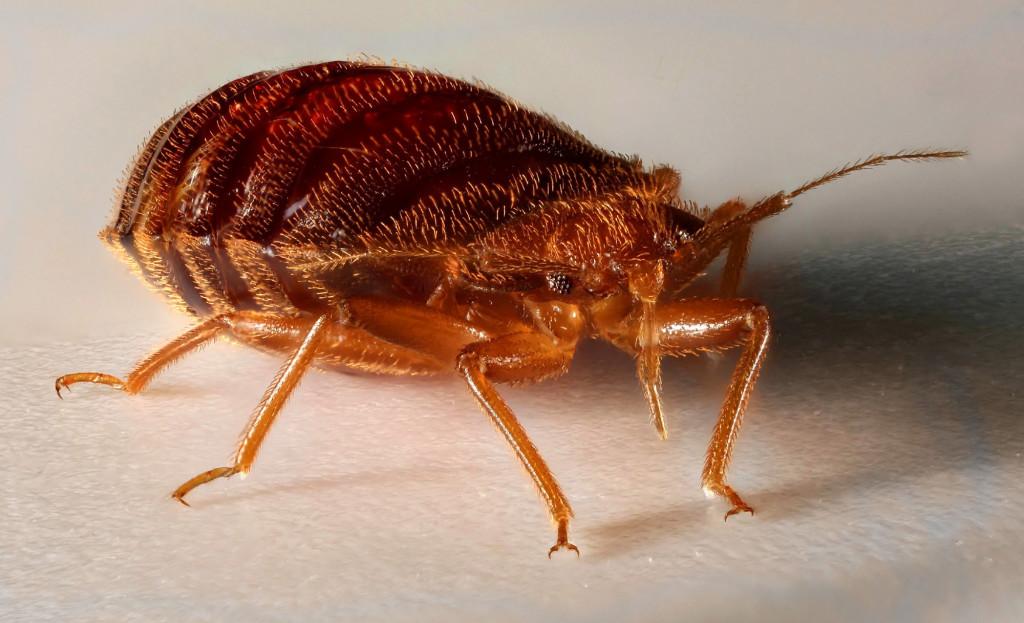Домашние насекомые: их виды и фото укусов